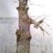 A hétszáz éves szelídgesztenyefa Kőszegen