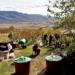Avasújváros éneklő szőlőfürtjei